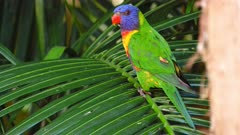 Rainbow Lorikeet on a palm tree leave, a female King Parrot lands and he flees