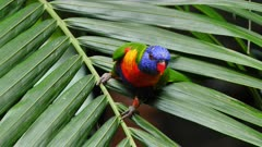 Rainbow Lorikeet on a palm tree leave communicating with the flock