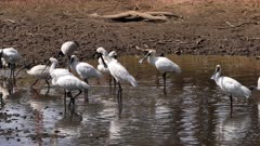 Royal Spoonbill, flock in a pond, preening