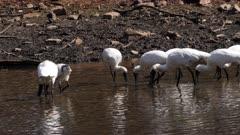 Royal Spoonbill, feeding in a pond, big flock