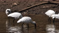 Royal Spoonbill,feeding in a pond, big flock, tracking close,one with breediing plumage captures a prey