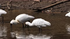 Royal Spoonbill feeding in a pond, big flock, tracking close,one with breeding plumage leading, slow motion