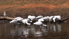 Royal Spoonbill feeding in a pond, big flock, tracking wide, corella on a log, flees