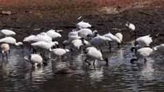 Royal Spoonbill feeding in a pond, big flock, tracking wide