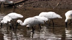 Royal Spoonbill feeding in a pond, six in frame, tracking close, slow motion