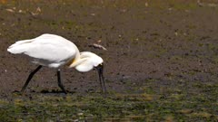 Royal Spoonbill feeding on pond,  passes behind egret, tracks right, breeding plumage, close up, slow motion
