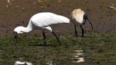 Royal Spoonbill feeding on pond, close up, slow motion, tracking left