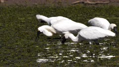 Royal Spoonbill feeding on pond, detach from flock, passes behing egret, breeding plumage,  tracks left, close up, slow motion
