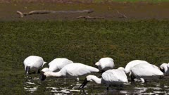 Royal Spoonbill feeding on pond,medium shot, tracking left, stop behind an egret with breeding plumage, slow motion.mov