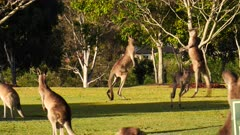 Eastern Grey Kangaroo, males boxing in a cemetery grounds 1/2