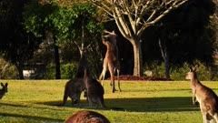 Eastern Grey Kangaroo, males boxing in a cemetery grounds 2/2