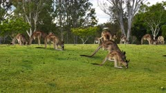Eastern Grey Kangaroo, mob in a cemetery grounds, grazing, one passes thru hopping, slow motion
