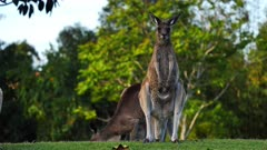 Eastern Grey Kangaroo,mob in a cemetery grounds, individual trying to regurgitate to ruminate, zoom to group