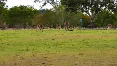 Eastern Grey Kangaroo,mob in a cemetery grounds, travel, wide