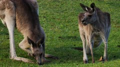Eastern Grey Kangaroo,mob in a cemetery grounds, two grazing, zoom to group