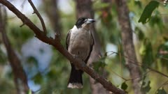 Grey Butcherbird perched in the forest, close