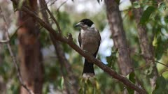 Grey Butcherbird perched in the forest, wide