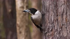 Grey Butcherbird perched on a tree trunk, flees, close