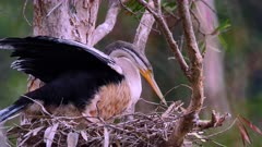 Australasian Darter on nest sitting on eggs, close