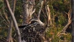 Australasian Darter on nest sitting on eggs, wide, early morning