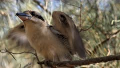 Laughing Kookaburra, nest activity, perched with a big larvae of a beetle, close up face