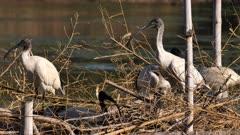 Australian White Ibis, couple nesting on artificial canopy on lagoon