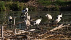 Australian White Ibis, large flock on artificial canopy on lagoon, resting, preening, ducks passing at the back