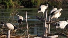 Australian White Ibis, large flock on artificial canopy on lagoon, resting, preening, interacting, pan