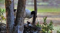 Australian White Ibis, nest, close,feeds one chick