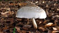 Fungus, unbonate, white, side lit, wide, 15cm cap