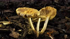 Fungus, yellow cream unbonate, three, one umbrella, two upen up, close, side lit, showing gills