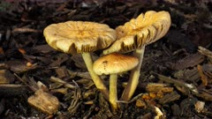 Fungus, yellow cream unbonate, three, one umbrella, two upen up, close, side up lit