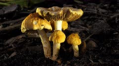 Fungus, yellow cream unbonate,group of 5, close, side  lit, bugs, gills on one