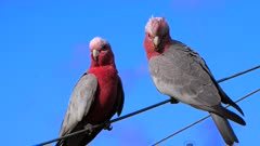 Galah, adult and chiick perched on a wire, late afternoon, close