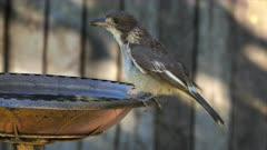 Grey Butvherbird, juvenile, perched on fountain in garden, responding to calls, wide, shorter