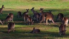 Eastern Grey Kangaroo, group resting, cemetery mob, early morning