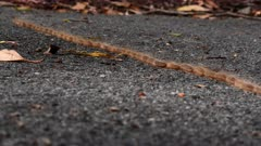 Caterpillars, walking like a train on asphalt moving to another part of the forest, ants try to attack them but they are poisonous, wide 2/3