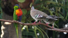 Rainbow Lorikeet displaced from a perch by two Crested Pigeon,  wide