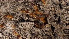 Termites organising to repair a broken gallery, macro 3 closer