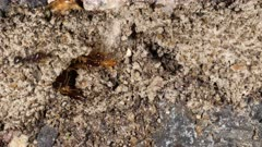Termites surprised by a broken gallery, ants on the prowl, macro