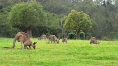 Eastern Grey Kangaroo mob grazing, Boab trees at the distance, wide