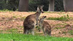 Eastern Grey Kangaroo, mother and joey, joey cuddles with mom and leaves, wide