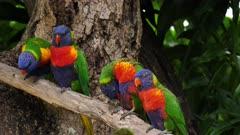Rainbow Lorikeet, 2 couples preening, wide