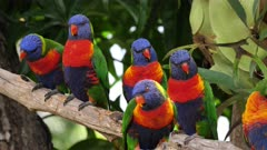 Rainbow Lorikeet, 4 perched, wide