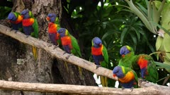 Rainbow Lorikeet, 8 perched, interactions, wide