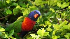 Rainbow Lorikeet, on bush picking up seeds fallen from the feeder