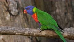 Rainbow Lorikeet, solo perched, wide