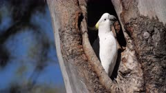 Sulphur-crested Cockatoo  perched on hole, close