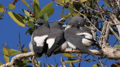 White-breasted Woodswallow, trio of siblings from last brood roosting on the same tree, perched preening, closer 2, matches with 1