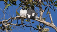 White-breasted Woodswallow, trio of siblings from last brood roosting on the same tree, perched preening, dift angle, close 1